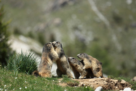 The alpine marmot was found to be the least genetically diverse wild mammal studied to date. (Photos: Carole and Denis Favre-Bonvin)