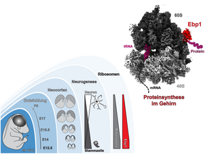 Momentaufnahme der Proteinherstellung während der Gehirnentwicklung. Grafik: M.L. Kraushar/ Charité