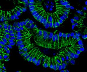 Ein Querschnitt durch angefärbte Darm-Organoide zeigt ringförmig angeordnete Epithelzellen (grün), deren Zellkerne (blau) am äußeren Rand liegen.