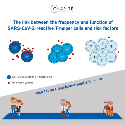 The link between the frequency and function of SARS-CoV-2-reactive T-helper cells and risk factors. Image: Gutwasser/Charité