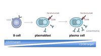 Schematic differentiation of B cells to long-lived plasma cells, which can be targeted by anti-CD38 monoclonal antibodies, such as daratumumab. Image: Alexander/ Charité