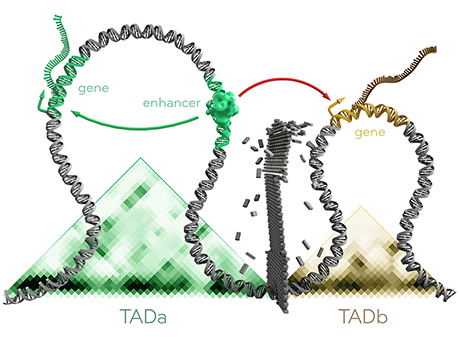 Functional units (TADs) with intact shield in a health genome (top) and shifted boundary caused by a mutation (bottom), Graphic: Thomas Splettstoesser, © Max Planck Institute for Molecular Genetics